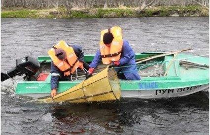 Молодь камчатской горбуши считают на пути в море