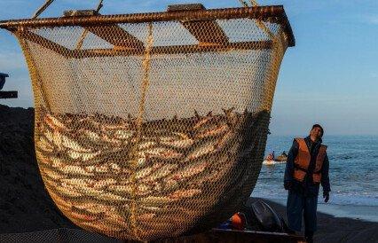 Уловы лосося перевалили за полмиллиона тонн