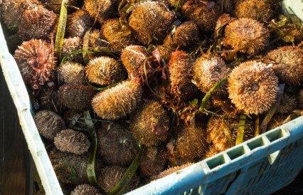 Новые запасы ежа нашли в сахалинских водах